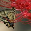 彼岸花とナミアゲハ 1-2