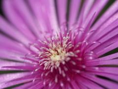 自宅から徒歩5分の世界(花)マツバギク