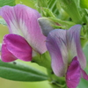 玄関から5mの世界(花)カラスノエンドウ