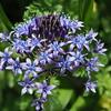 自宅から徒歩5分の世界(花)オオツルボ1