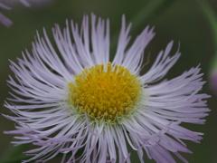 自宅から徒歩5分の世界(花)ハルジオン