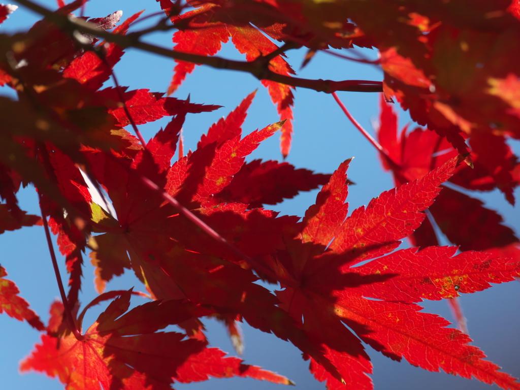 カワセミ公園の紅葉 2