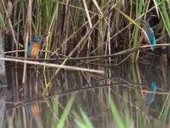 縄張り争い 1(嫁候補と隣の池の雄 隣の水路にて)