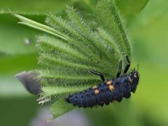 玄関から5mの世界(虫)テントウ虫の幼虫