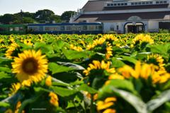 銚子電鉄と向日葵