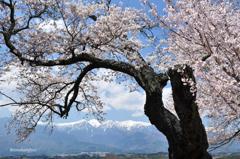 明るい桜と残雪山