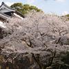 多門櫓と桜