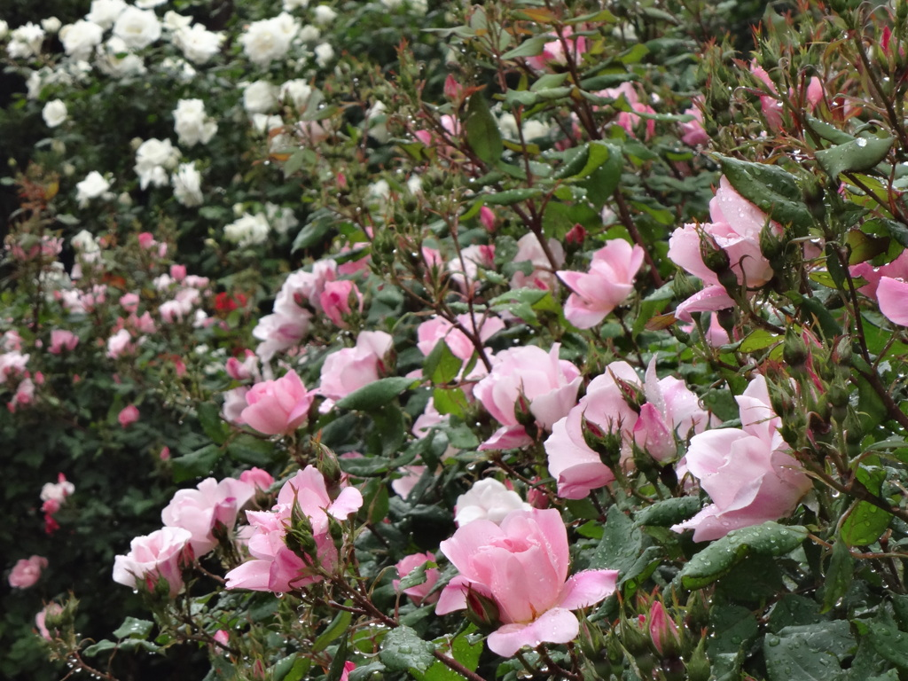 薔薇の咲き始め2 港の見える丘公園