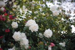 港の見える丘公園の薔薇4