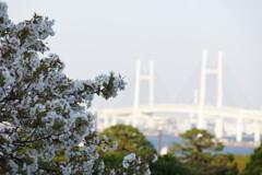 2020年の桜の見納め、港の見える丘公園