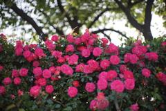 港の見える丘公園の薔薇2