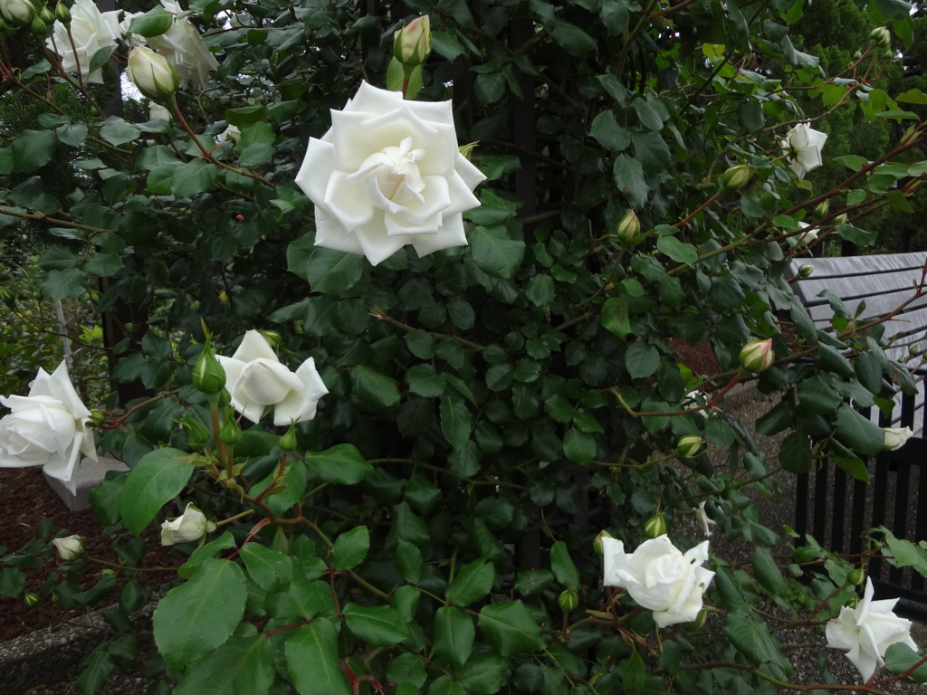 薔薇の咲き始め1 港の見える丘公園