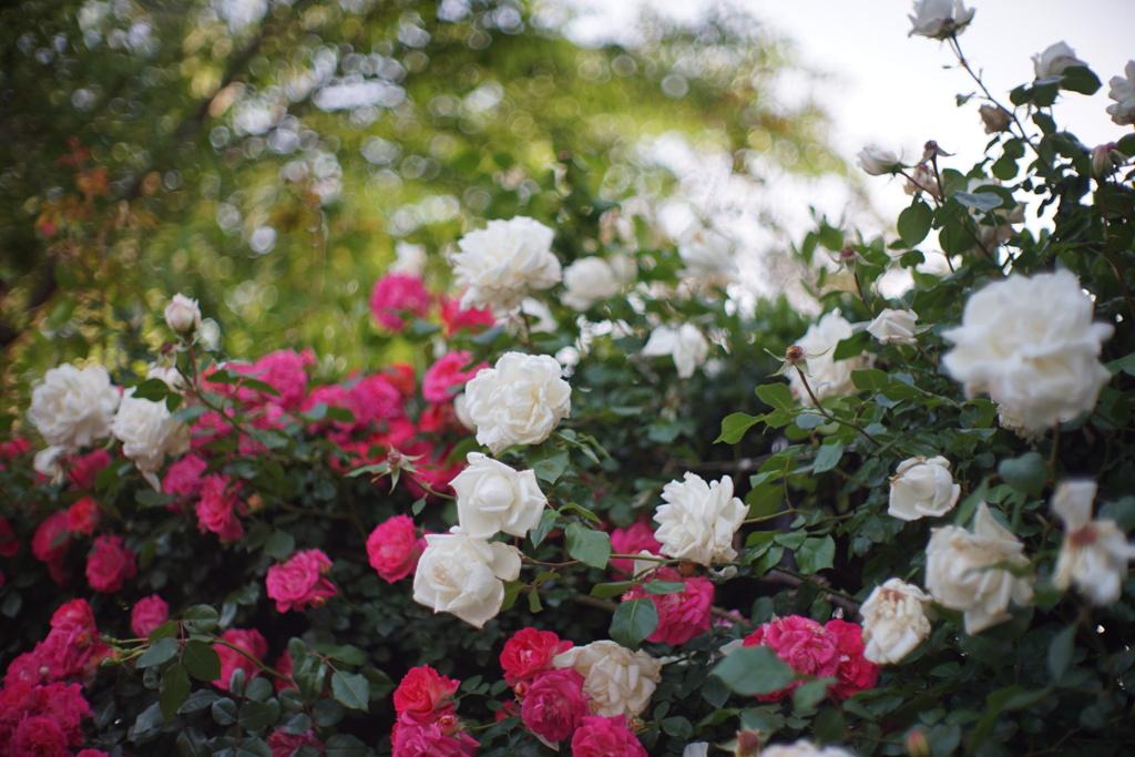 港の見える丘公園の薔薇5
