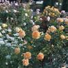港の見える丘公園の薔薇8