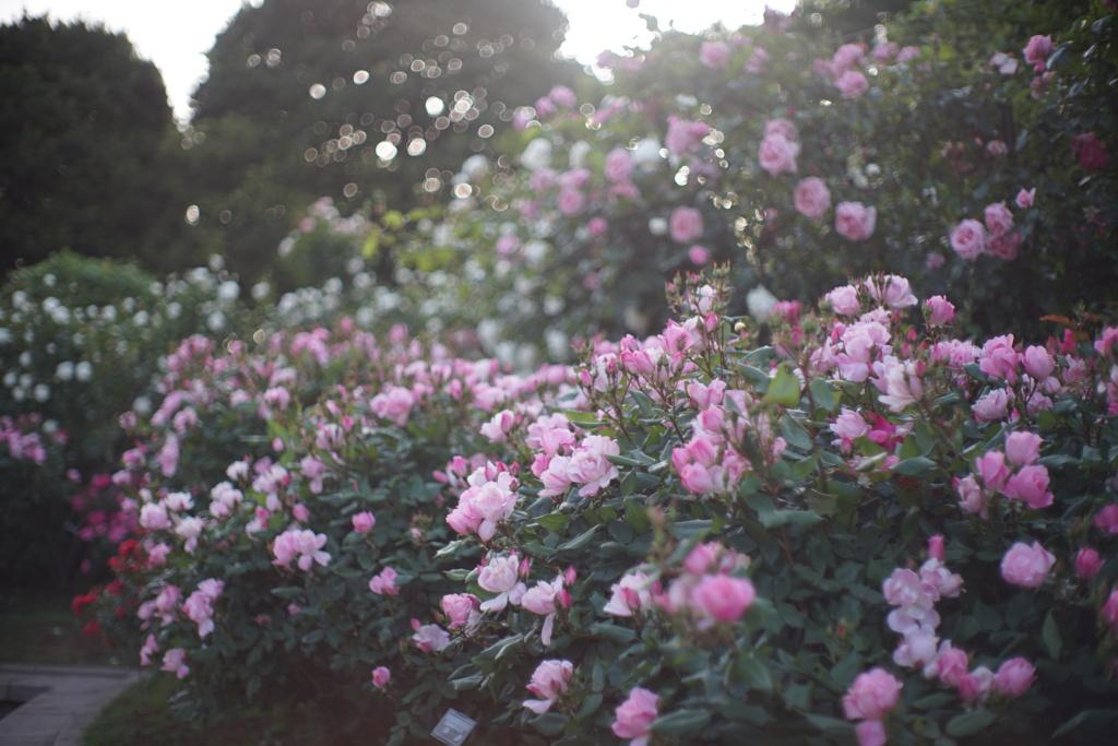 港の見える丘公園の薔薇6