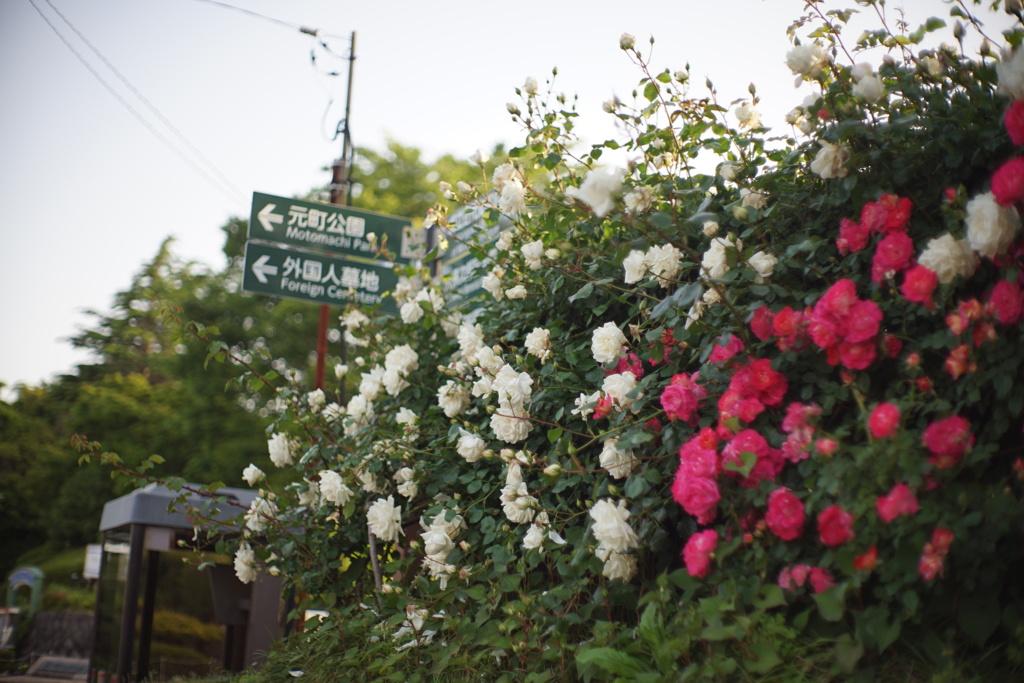 港の見える丘公園の薔薇1