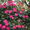 港の見える丘公園の薔薇3