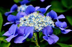 紫陽花 その三