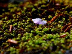 林道の苔にサクラ