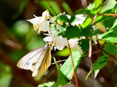 スジグロシロチョウの吸蜜