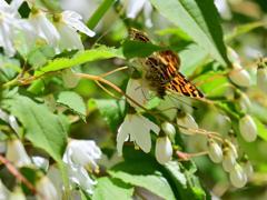 サカハチチョウの吸蜜