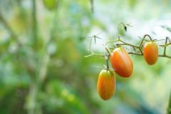最後のフルーツトマト