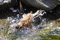 ホオジロさんの水浴び