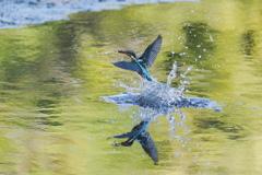 カワセミと池に映る木々の色2
