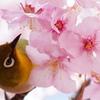 桜に染まる