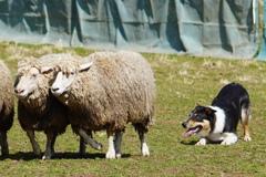 牧羊犬になるぞ