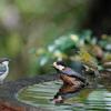 水場の小鳥 常連さん