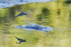 カワセミと池に映る木々の色1