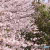 20200404_canon900D_目黒川 (78)