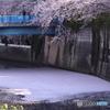 20200404_canon900D_目黒川 (71)