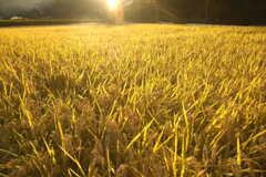 金色の絨毯①