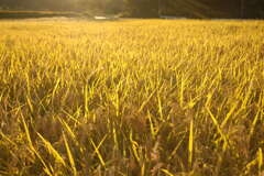 金色の絨毯②