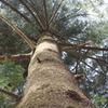 巨大 モミの木