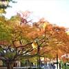 樹齢400年の大楓