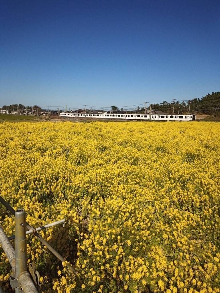 菜の花畑を通る 筑肥線(福岡)