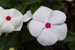 ニチニチソウ 白色
