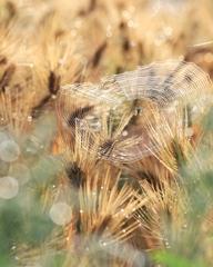 麦の穂輝いて