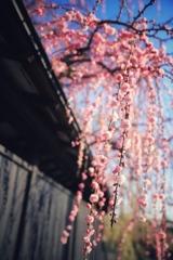 黒塀に枝垂れ梅