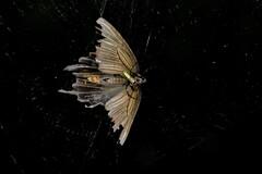 女郎クモの捕食