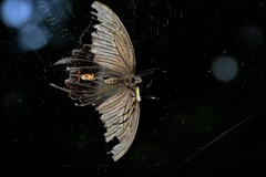 クロアゲハクモに捕まる