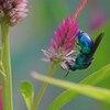 Metallic Blue Bee