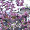皇居の桜(竹橋付近)