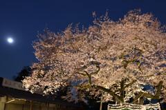 高麗神社の桜(御神木)