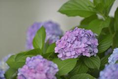 紫陽花13(上野公園)