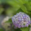 紫陽花5(上野公園)
