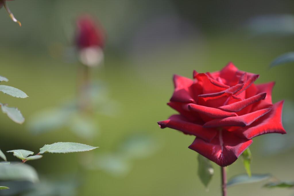 秋薔薇(旧古河庭園)11